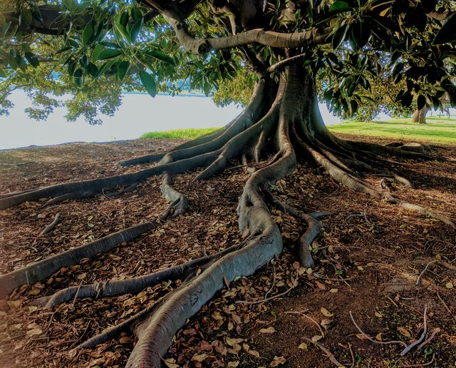 A tree with an extensive network of roots that could clog a sewer line